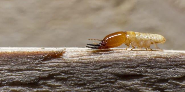 Diagnostic termites : Depuis quand et pourquoi est-il obligatoire ?