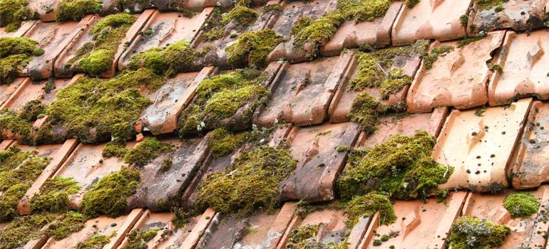 Mousse de toiture