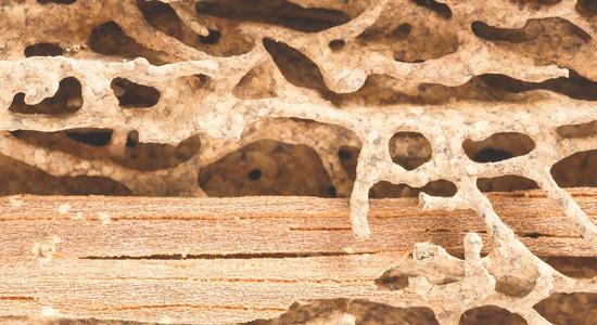 Que faire en cas de termites ?